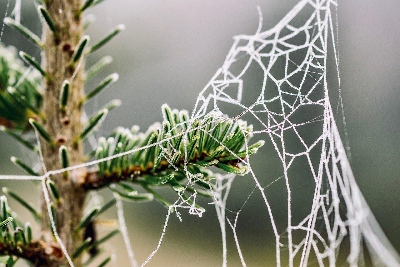 Kuusen oksalla hämähäkin verkko.