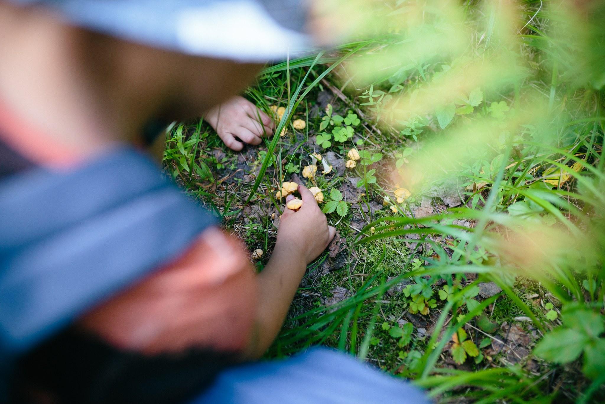 Kaksi kättä, keräävät sieniä, pieniä keltaisia kanttarelleja.