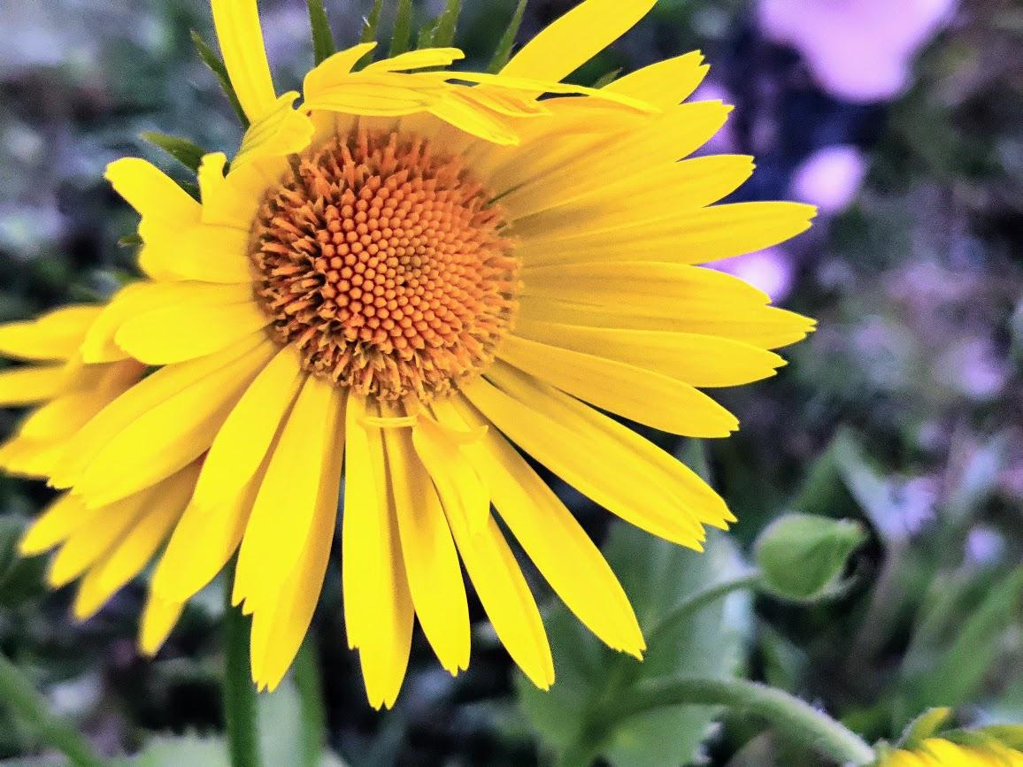 Keltainen kukka.